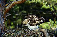 Zwergadler, am Nest, Horst, Zwerg-Adler, Adler, Hieraaetus pennatus, Aquila pennata, Aquila minuta, booted eagle, L'Aigle botté