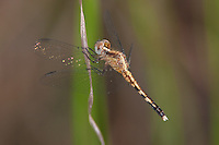 Little-Blue Dragonlet (Erythrodiplax minuscula) Dragonfly - Female, Lake Kissimmee State Park, Lake Wales, Polk County, Florida
