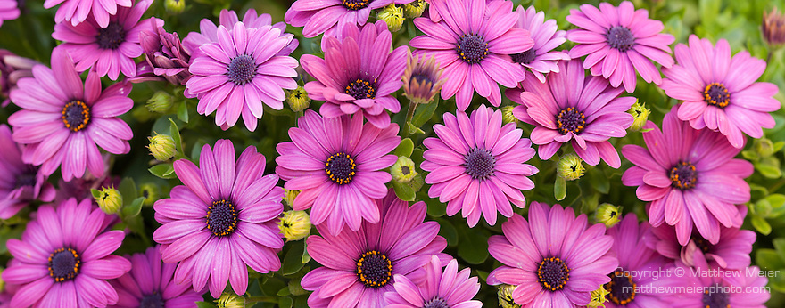 Coronado, San Diego, California; a panoramic view of a bed of African Daisy flowers in the spring