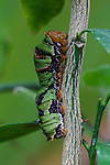 Red Helen caterpillar pupation