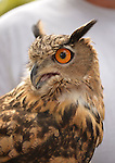 Old Westbury, New York, U.S. - August 23, 2014 - AUGIE, an alert 4-year-old male Eurasian Eagle Owl (Bubo bubo) with large orange eyes, is from WINORR, Wildlife in Need of Rescue and Rehabilitation, at the 54th Annual Long Island Scottish Festival and Highland Games, co-hosted by L. I. Scottish Clan MacDuff, at Old Westbury Gardens. WINORR is run by the Horvaths, licensed animal rehabilitators in North Massapequa.