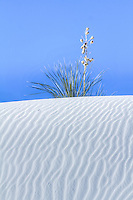 Yucca plant on the top of a sand dune at  White Sands National Monument in New Mexico.