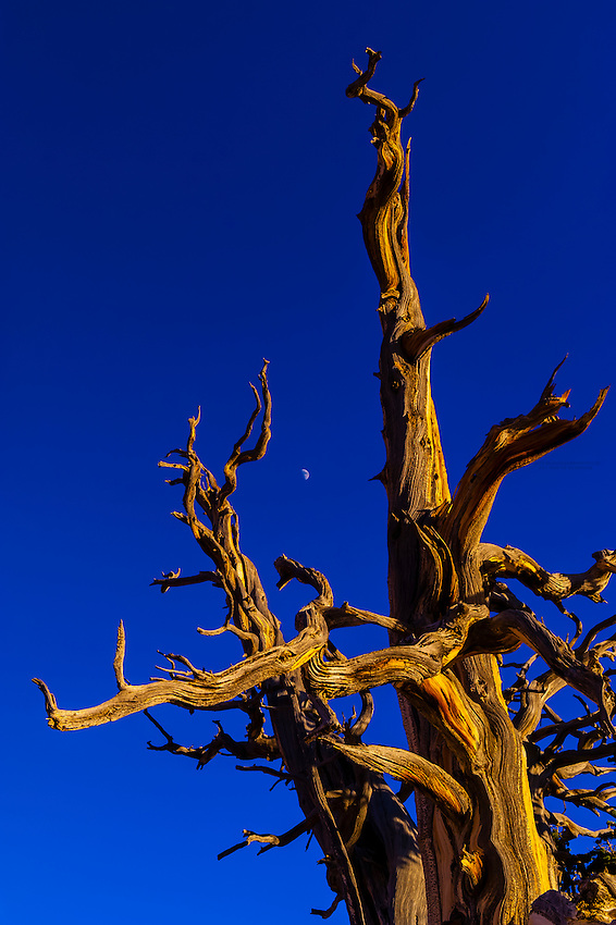 A 1,600 year old Bristlecone Pine tree, Spectra Point, Cedar Breaks National Monument, Utah, USA