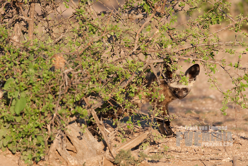 Bat-eared Fox (Otocyon Megalotis)...Adult...Mashatu Game Reserve..Tuli block, Botswana..November 2010.