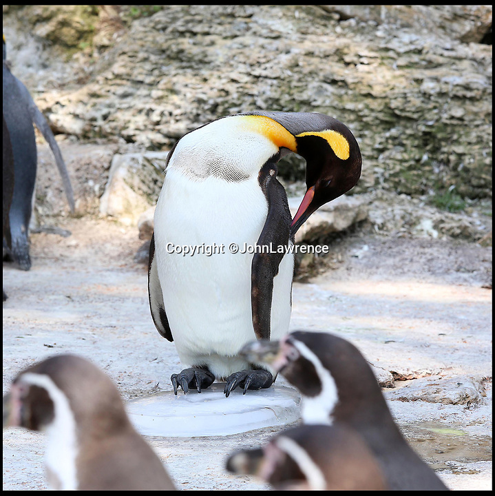 BNPS.co.uk (01202 558833)<br /> Pic: JohnLawrence/Birdland/BNPS<br /> <br /> Ice cool...<br /> <br /> Birdland penguins get n-ice treat for their happy feet.<br /> <br /> A colony of king penguins have been given giant ice blocks to help them chill out during the hot weather.<br /> <br /> With temperatures pushing 30 degrees, the penguins - who are most comfortable in arctic conditions - have been struggling to cope. <br /> <br /> So staff at wildlife attraction Birdland in Bourton-on-the-Water, Gloucestershire, froze tubs of water to recreate miniature icebergs for the flightless birds.<br /> <br /> They have also installed a series of water sprinklers around their enclosure to allow them to cool down.<br /> <br /> Birdland, which celebrates its 60th anniversary this year, looks after the UK's only breeding colony of king penguins - the second largest specimen of penguins in the world who weigh up to 40lb.