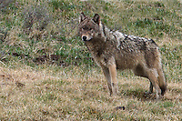 "The gray wolf (Canis lupus) is generally monogamous, with mated pairs usually remaining together for life, unless one of the pair dies. Upon the death of one mated wolf, pairs are quickly re-established. Since males often predominate in any given wolf population, unpaired females are a rarity. If a dispersing male wolf is unable to establish a territory or find a mate, he will mate with the daughters of already established breeding pairs from other packs. Such wolves are termed ""Casanova wolves"" and, unlike males from established packs, they do not form pair bonds with the females they mate with. Some wolf packs may have multiple breeding females this way, as is the case in Yellowstone National Park."