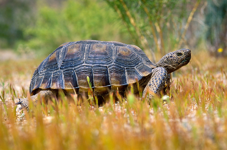 Desert Tortoise (Gopherus agassizii), native to the Mojave desert and Sonoran desert of the southwestern United States and nw Mexico. Can grow 10 to 14 in. (25-36cm) long from 4–6in. (10–15cm) tall and weigh 8–15 lb (4–7kg) fully grown. Able to live where ground temperature may exceed 140 degrees Fahrenheit (60C) because of ability to dig underground burrows and escape the heat; at least 95% of its life is spent in burrows. Classified as Vulnerable Species. Joshua Tree National Park, CA.