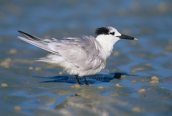 Sandwich Tern, Sterna sandvicensis,adult winter plumage, Sanibel Island, Florida, USA