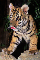 683999148 a captive bengal tiger cub panthera tigris walks between rocks and flicks his tongue species is endangered this animal is a wildlife rescue species is native to india