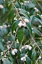 Camellia cuspidata, mid March.