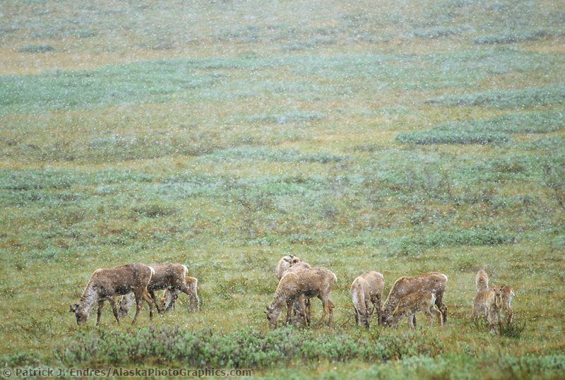Caribou herd in snowstorm, Denali National Park, Alaska