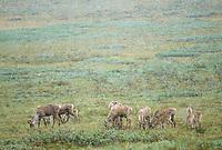 Caribou herd in snowstorm, Denali National Park, Alaska