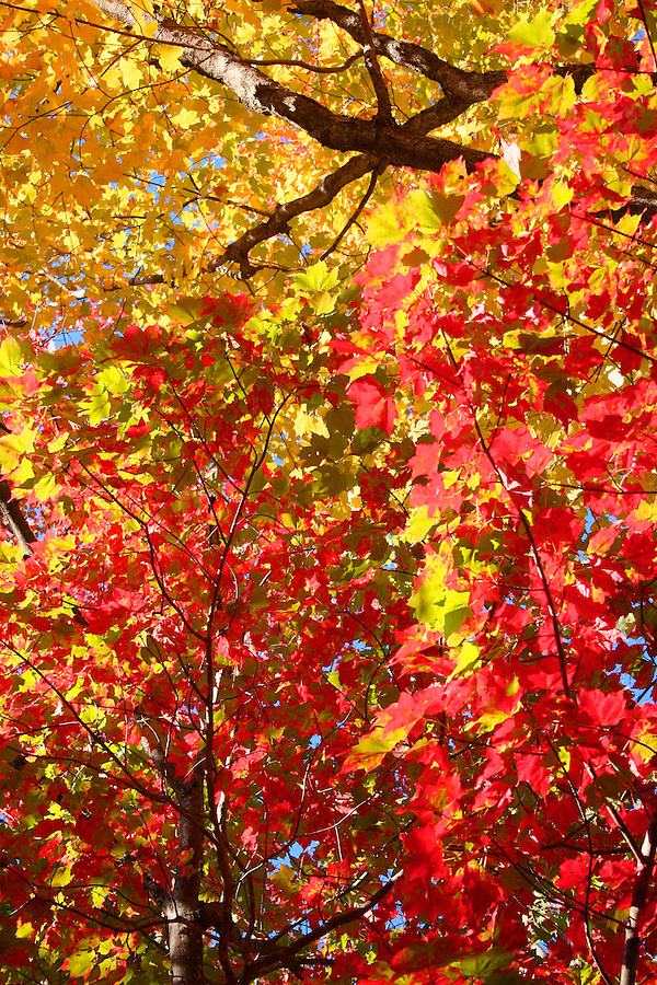 Red and yellow autumn leaves backlit by sunshine