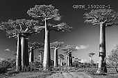 Tom Mackie, LANDSCAPES, LANDSCHAFTEN, PAISAJES, photos,+Africa, B&W, Madagascar, Tom Mackie, UNESCO World Heritage Site, Worldwide, african, baobab tree, big, black & white, black a+nd white, country lane, environment, exotic, flora, forest, gigantic, group, high, horizontal, horizontals, huge, landscape,+large, massive, morondava, nature, old, outdoor, path, person, plant, road, scenery, scenic, tall, tourism, track, tranquil,+travel, tree, trees, tropical, trunk, woman,Africa, B&W, Madagascar, Tom Mackie, UNESCO World Heritage Site, Worldwide, afric+,GBTM150202-1,#L#