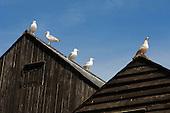 Herring gulls, Hastings, East Sussex