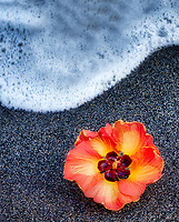 African Tulip tree blossom on black sand beach with wave. Hawaii, The Big Island