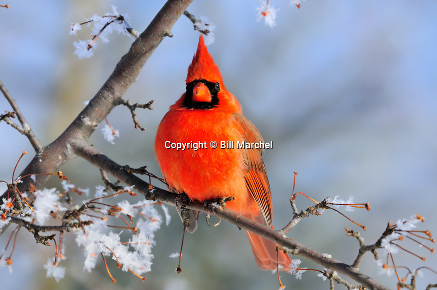 00132-001.04 Northern Cardinal male is perched in crab apple tree with rime frost on the branches.  Hoar, cold, winter, red.