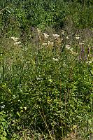 Echtes Mädesüß, Mädesüß, Mädesüss, Filipendula ulmaria, Meadow Sweet, Quenn of the Meadow, Reine des prés