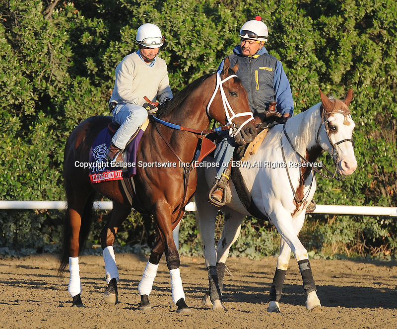 Kindergarden Kid, trained by Peter Miller, exercises in preparation for the upcoming Breeders Cup at Santa Anita Park on October 30, 2012