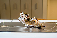 Belgium. Brussels. London. 17th November 2015<br /> An ancient dog skull is prepared for cutting. A small piece will be cut and then sent for DNA testing.<br /> Andrew Testa for the New York Times