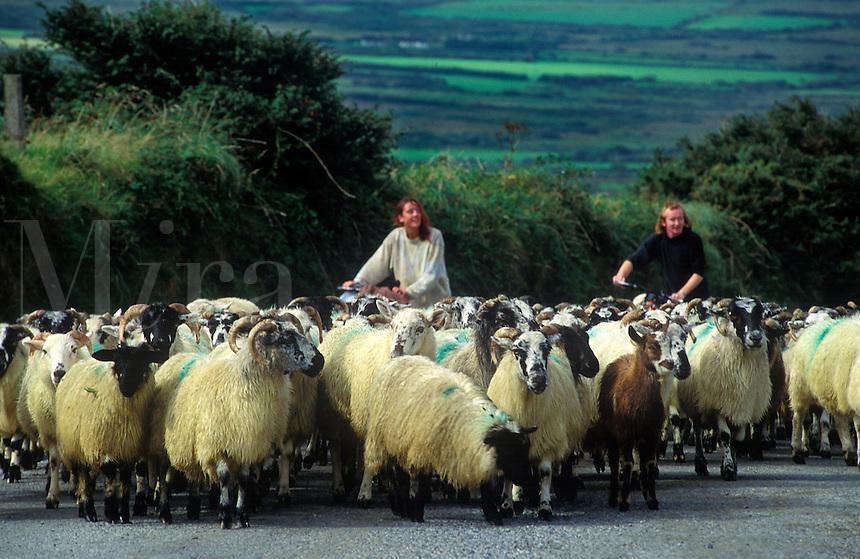 Irish farmer guides his sheep along a country road, Ireland