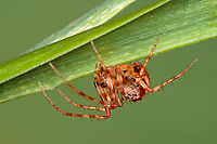 Spinnenfresser, Weibchen, Ero furcata, Pirate spider, female, Spinnenfresser, Mimetidae, Pirate spiders