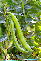 Green Beans in the vegetable garden ready to be picked Clos des Iles Le Brusc Six Fours Cote d'Azur Var France