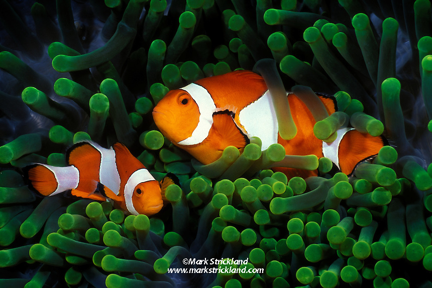A pair of Clown Anemonefish, Amphiprion percula, cavort among the tentacles of their host sea anemone. In a perfect example of symbiosis, the anemonefish aquire immunity to their host's stinging tentacles, which are lethal to most other fish. The anemonefish enjoy safe shelter among the tentacles, and reciprocate by defending their host from other predators. Wakatobi Marine Reserve, Tukang Besi Archipelago, Indonesia, Pacific Ocean. filename: clown94