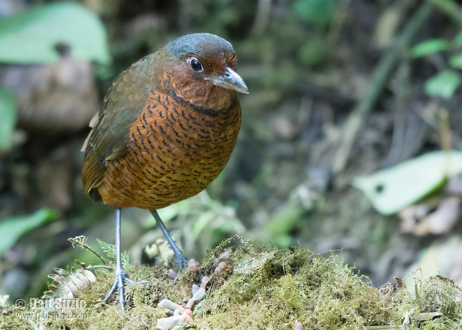 Giant Antpitta, Grallaria gigantea, perched on a branch at Refugio Paz de las Aves, near Nanegalito, Ecuador