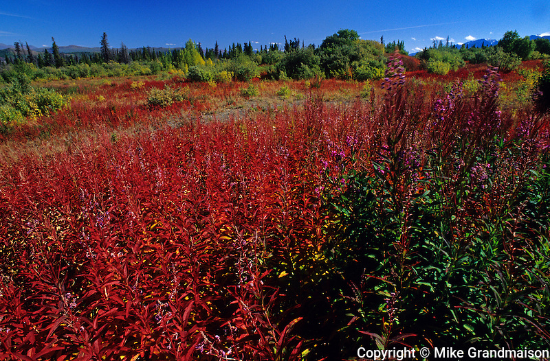 fireweed in autumn<br /> Kluane National Park<br /> Yukon<br /> Canada