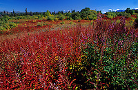 fireweed in autumn<br /> Kluane National Park<br /> Yukon<br /> Canada