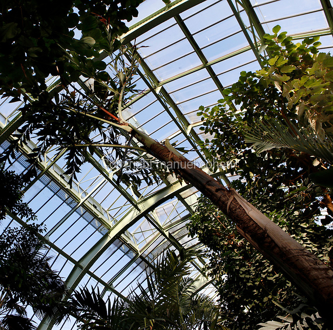 Tropical Rainforest Glasshouse (formerly Le Jardin d'Hiver), 1936, René Berger, Jardin des Plantes, Museum National d'Histoire Naturelle, Paris, France. Low angle view of a Caryota, beneath the glass and metal roof structure of the Art Deco Glasshouse.