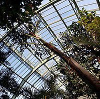Tropical Rainforest Glasshouse (formerly Le Jardin d'Hiver), 1936, René Berger, Jardin des Plantes, Museum National d'Histoire Naturelle, Paris, France. Low angle view of a Caryota, beneath the glass and metal roof structure of the Art Deco Glasshouse.