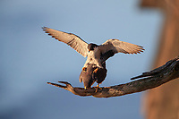 Peregrine Falcon (Falco peregrinus anatum), North American subspecies, pair mating at State Line Lookout in Palisades Interstate Park, Alpine, New Jersey.