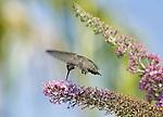 "Anna's Hummingbird.""Calypte anna"" on a Butterfly Bush..Stevenson Ranch, Ca. June 17, 2008. Fitzroy Barrett"