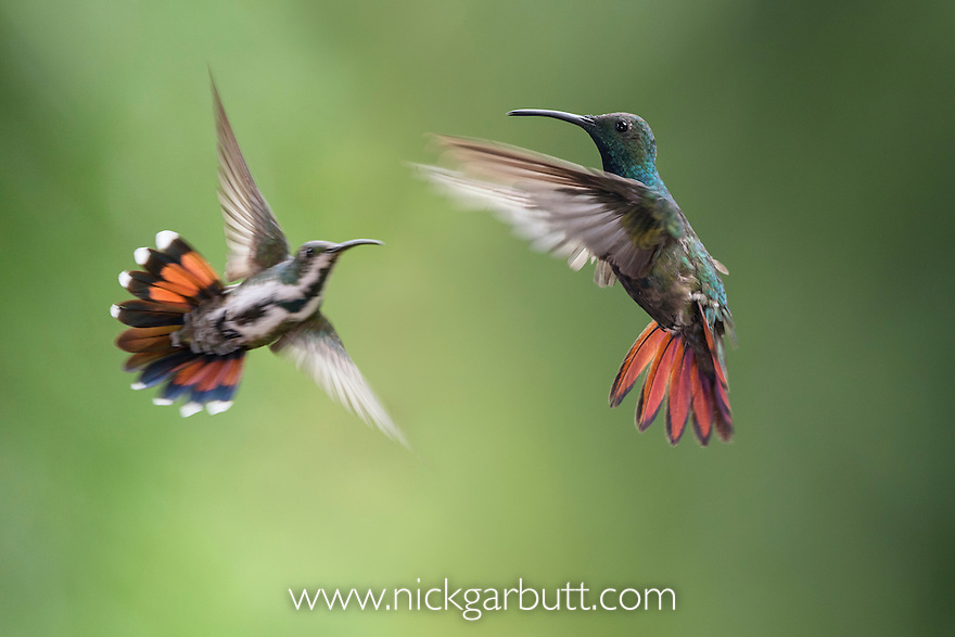 Male (foreground) and female (background) Green-breasted Mango (hummingbird) (Anthracothorax prevostii) in flight. Hovering in front of feeder. Montane rainforest, Rancho Naturalista Lodge, Caribbean slope, Costa Rica.