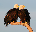 A pair of Bald Eagles (Haliaeetus leucocephalus) snuggle up in the frosty winter breeze.  Kenai Peninsula, Alaska