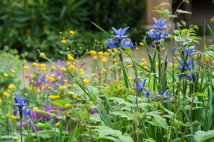 Siberian irises (Iris sibirica), The M&G Centenary Garden – 'Windows through Time' - a celebration of 100 years of Chelsea garden design, designed by Roger Platts, Gold medal winner, RHS Chelsea Flower Show 2013.