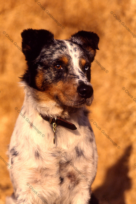 Photo of an Australian Shepherd, Blue or Queensland Heeler Mix Dog sitting on a haystack