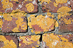 Orange shield lichen growing on red brick wall