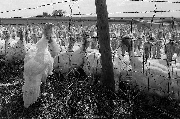 An escaped turkey stands outside the fence at a farm in rural Iowa, 1974