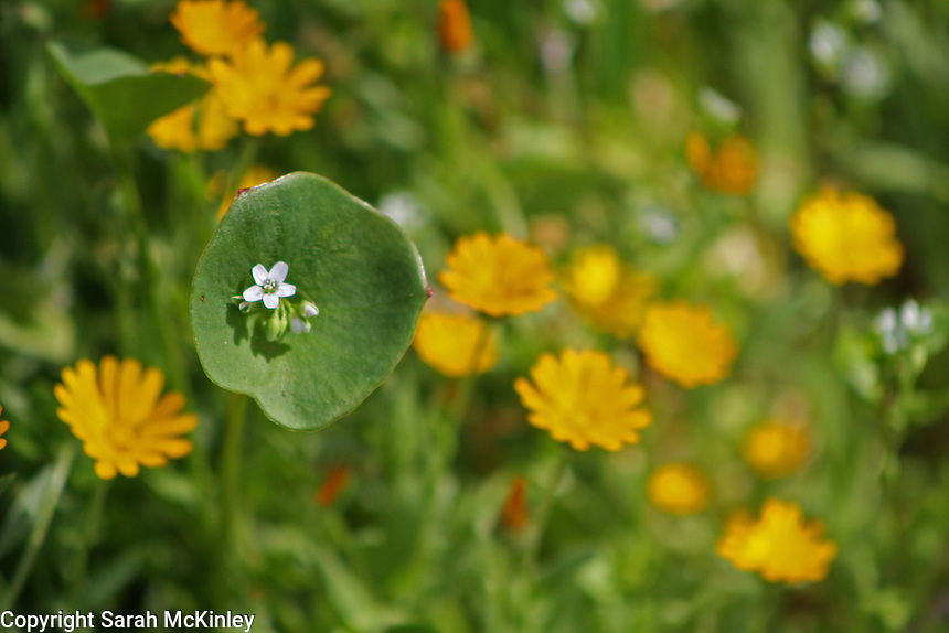 Miner's lettuce, with its distinct round leaf and small white blossom, growing among orange flowers.