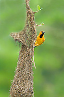 561820056 a wild adult altimara oriole icterus gularis perches on its pendulus hanging nest in tamaulipas state mexico