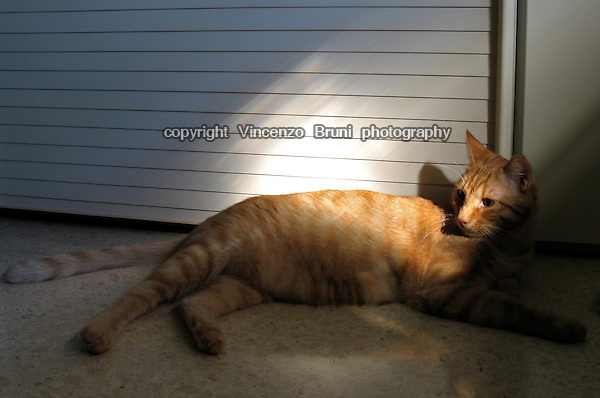 A red tabby cat laying on the floor enlightned by sun light.