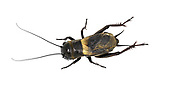 Field Cricket - Gryllus campestris<br /> male