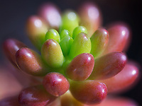 Close up of Sedum Jelly Bean. Oregon