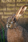 A Brown hare in front of a gravestone at a cemetery in the North West of England