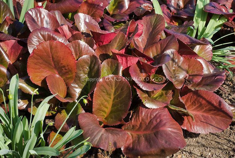 Bergenia 'Bressingham Ruby' foliage in March