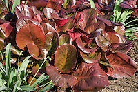 Bergenia 'Bressingham Ruby' foliage in March
