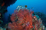 Gorgonian fan coral and sponges in the reef with bigeye jacks in the background
